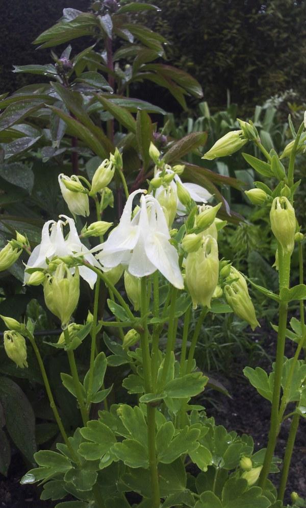 Aquilegia vulgaris Alba (syn 'Nivea')
