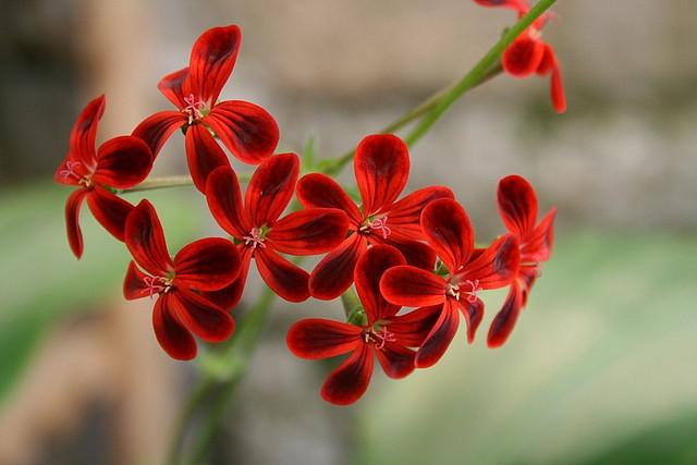 Pelargonium 'Ardens'
