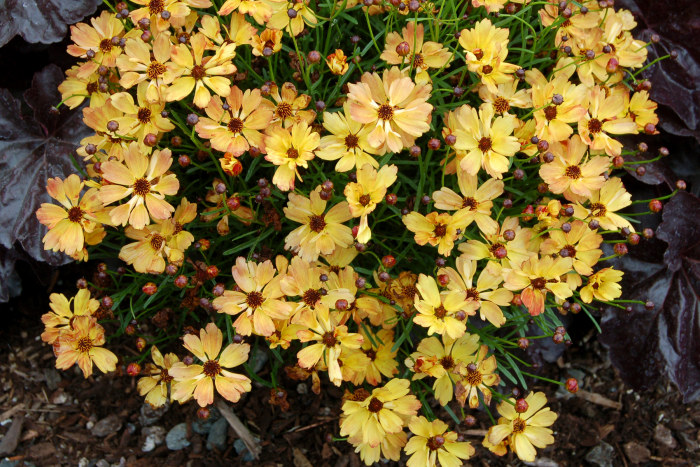 Coreopsis 'Lemon Punch' bred by Terra Nova Nurseries