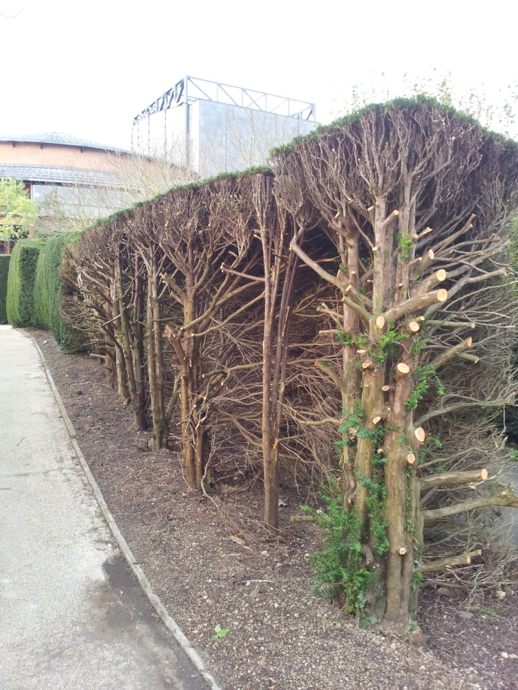 An old yew hedge at Glyndebourne gardens after being severely cut back.