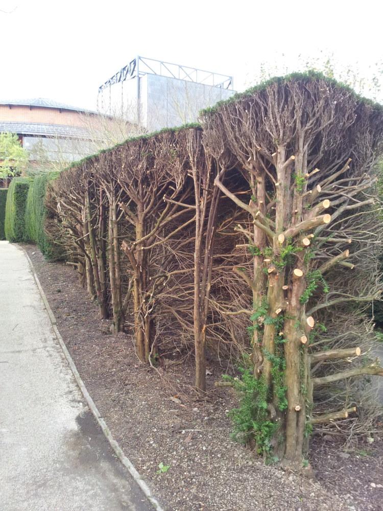 renovating old hedges mad with joy. Black Bedroom Furniture Sets. Home Design Ideas
