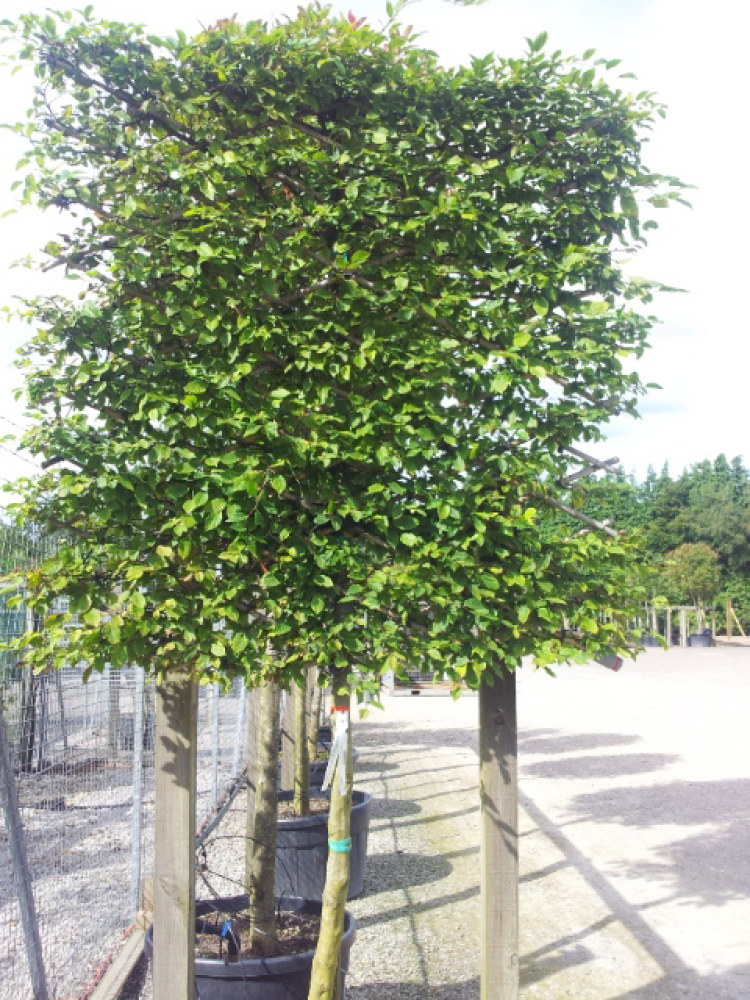 Many nurseries now sell young trees that are already trained for pleaching.