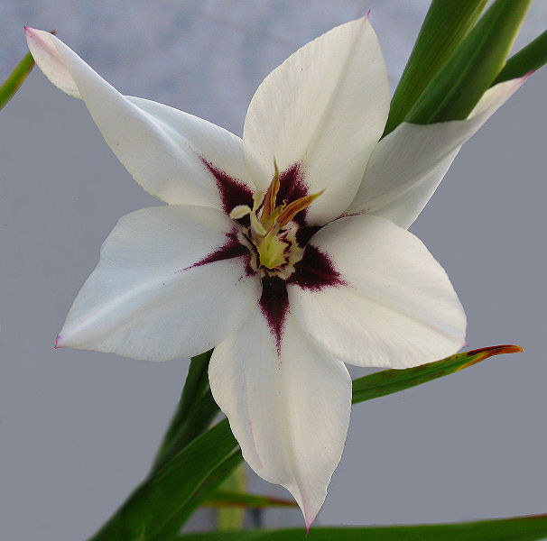 Acidanthera callianthus (synonym Gladiolus callianthus
