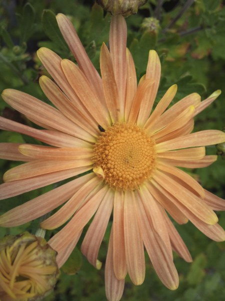 """Chrysanthemum """"Mary STooker'"""