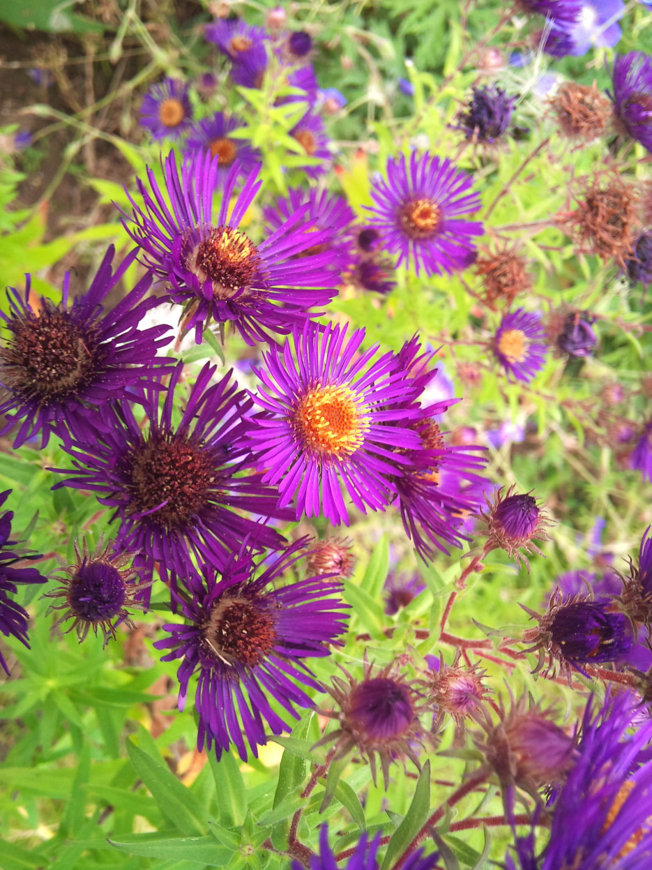 Aster 'Maria Wolkonsky'
