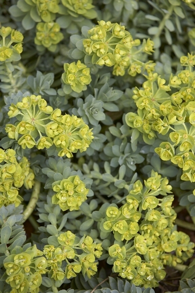 Euphorbia myrsinites in flower