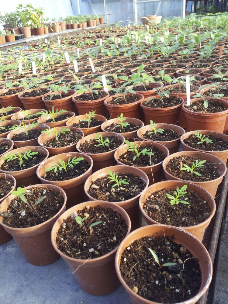 Seedlings pricked out into small individual pots.