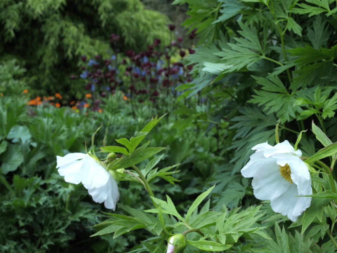 Paeonia vetchii Alba