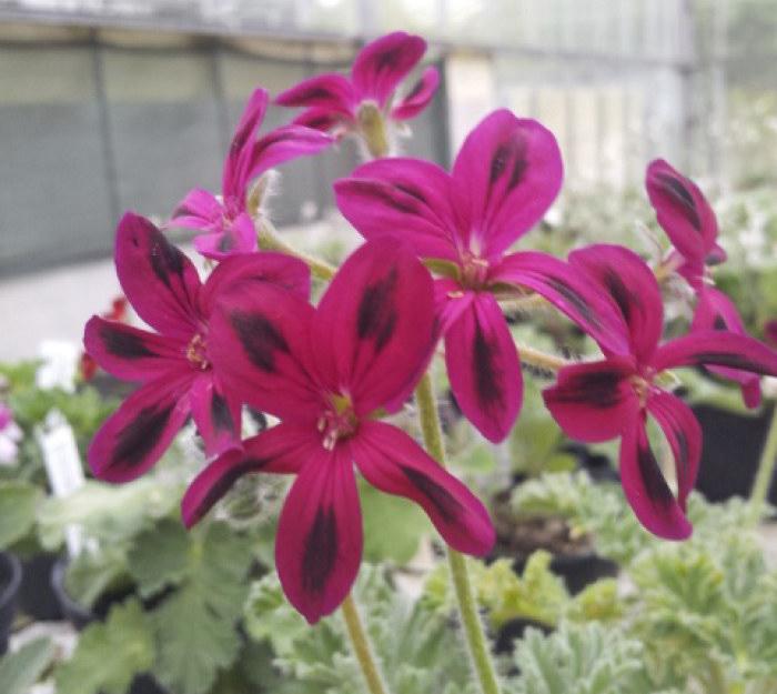Pelargonium Schottii