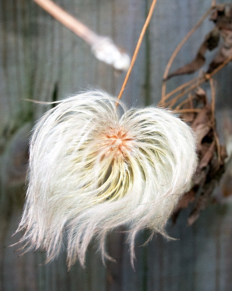 The seed head of clematis