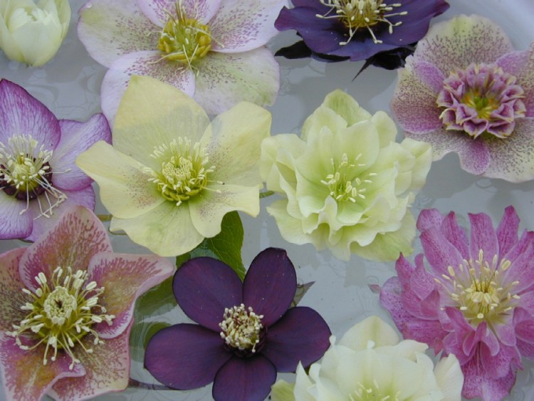 Forms of Hellebore hybrids