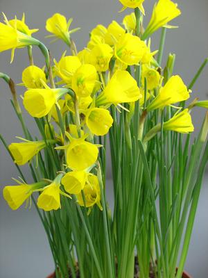 Narcissus Classic Gold