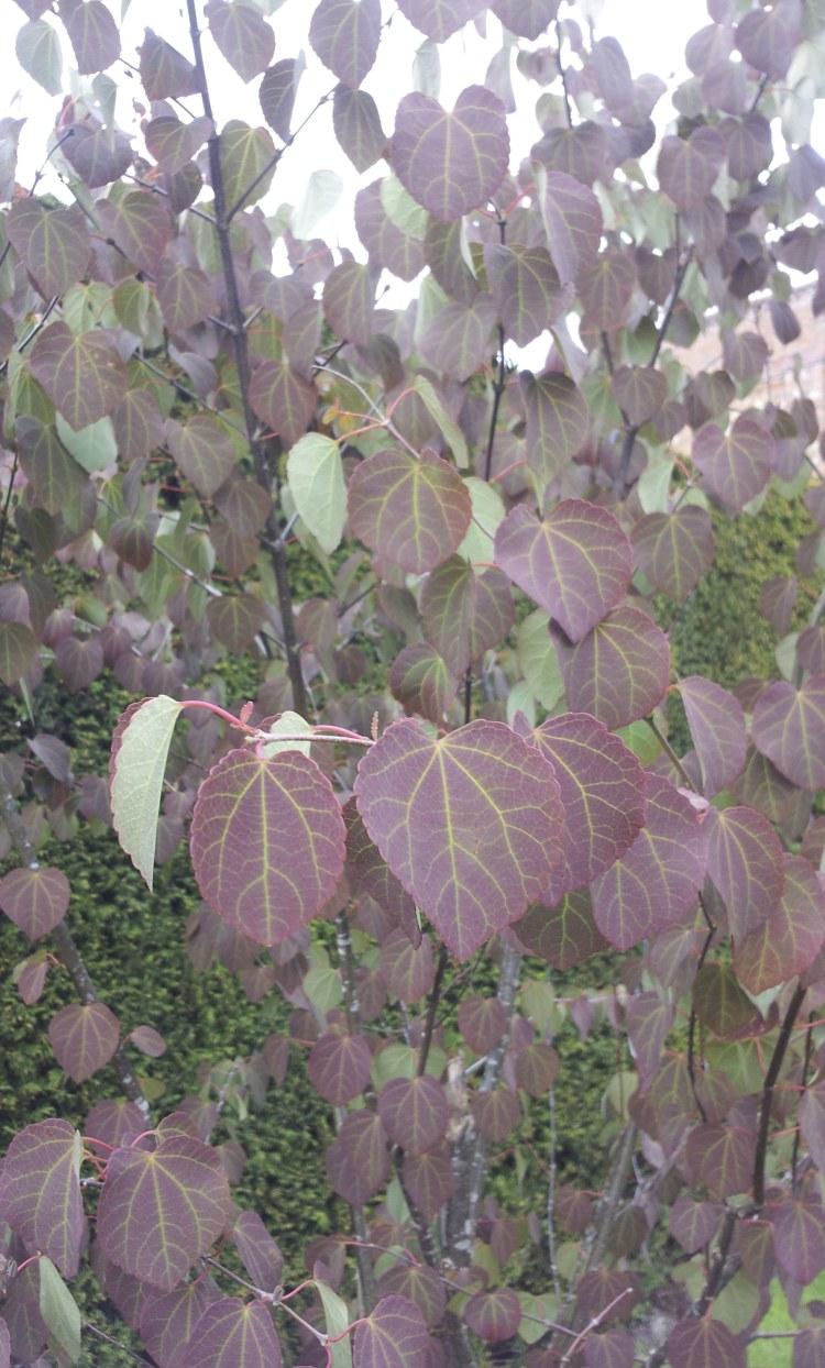 Cercidiphyllum japonicum foliage