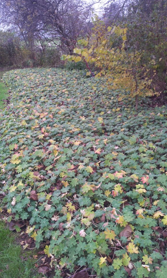 Even in winter Geranium maccrorhizum makes an attractive ground cover