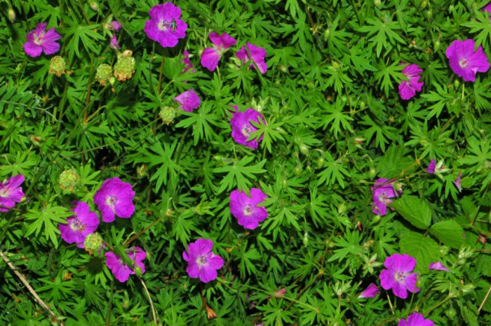 Geranium sanguineum used as ground cover