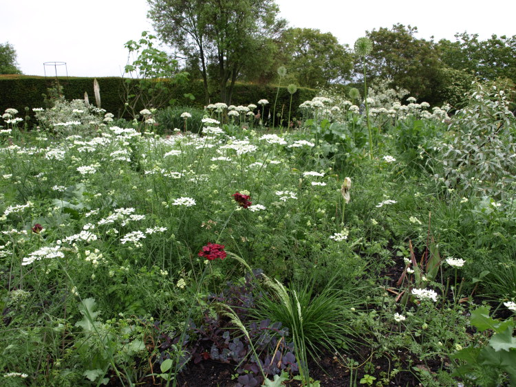 Orlaya grandiflora in a mixed border with grasses and Dianthus cruentus