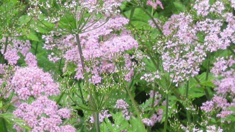 Chaerophyllum roseum