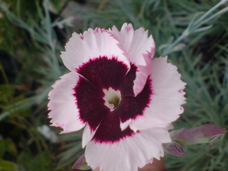 Dianthus  'Eileen'