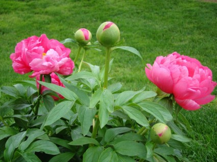 Herbaceous peony in bud
