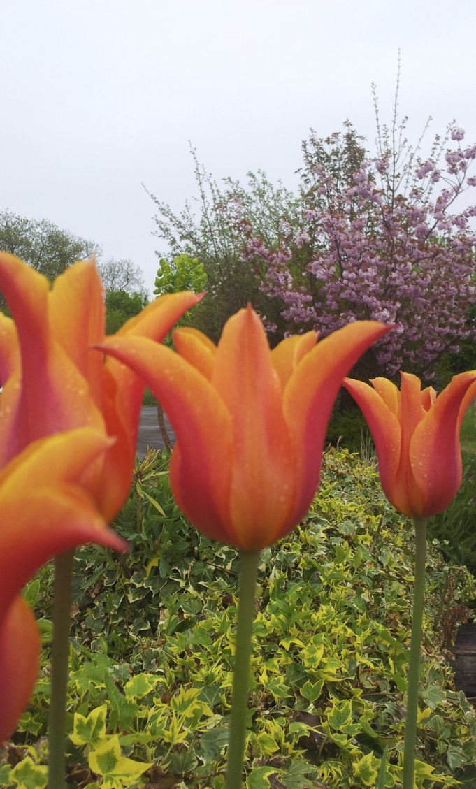 Tulip Ballerina 1