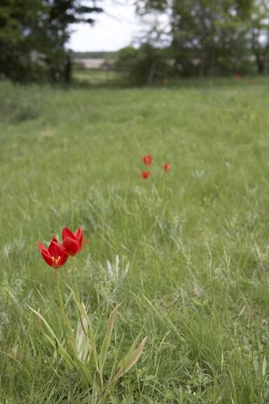 Tulip sprengeri