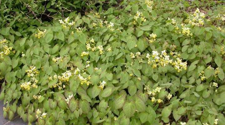 Epimedium × versicolor 'Sulphureum'