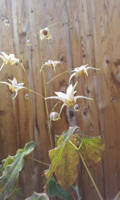 Epimedium 'King Prawn'