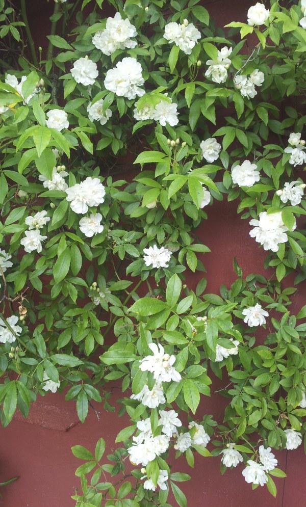 Rosa banksiae var. banksiae