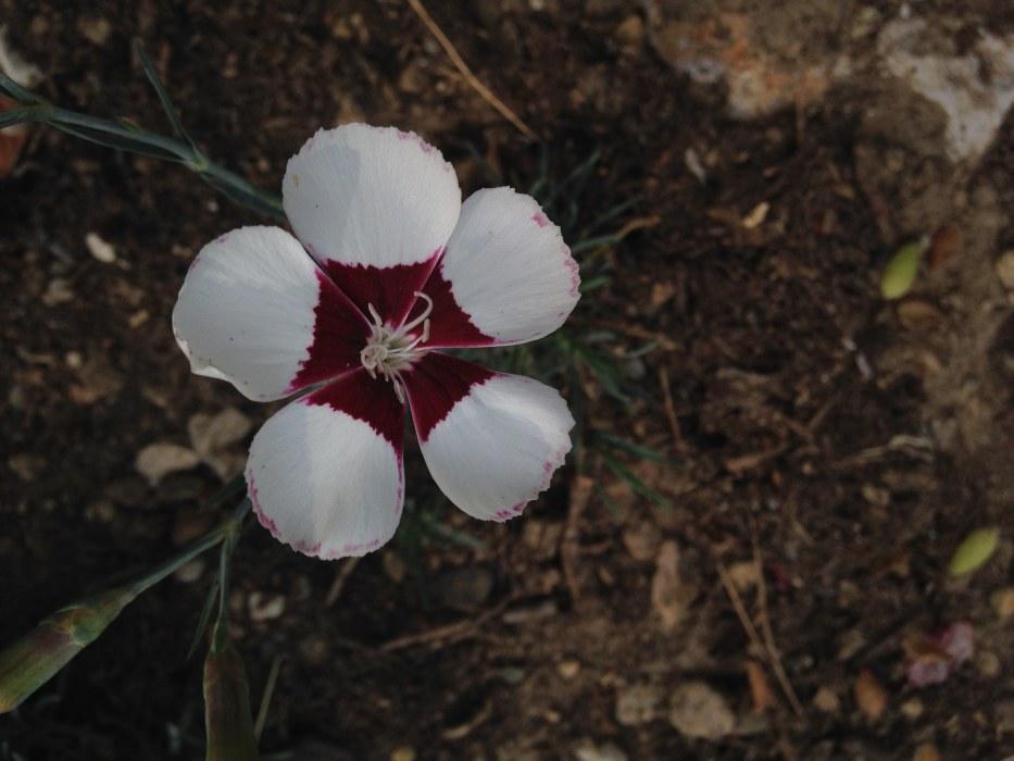 Dianthus 'Elizabethan'